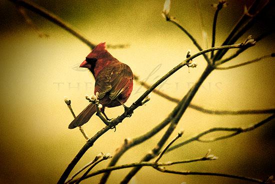 Lone Cardinal