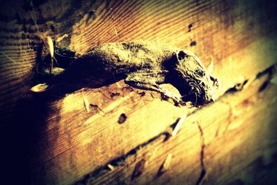 photograph of rat mummy