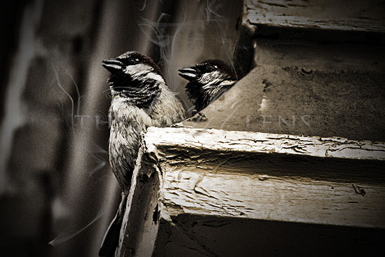 Dark Sparrows