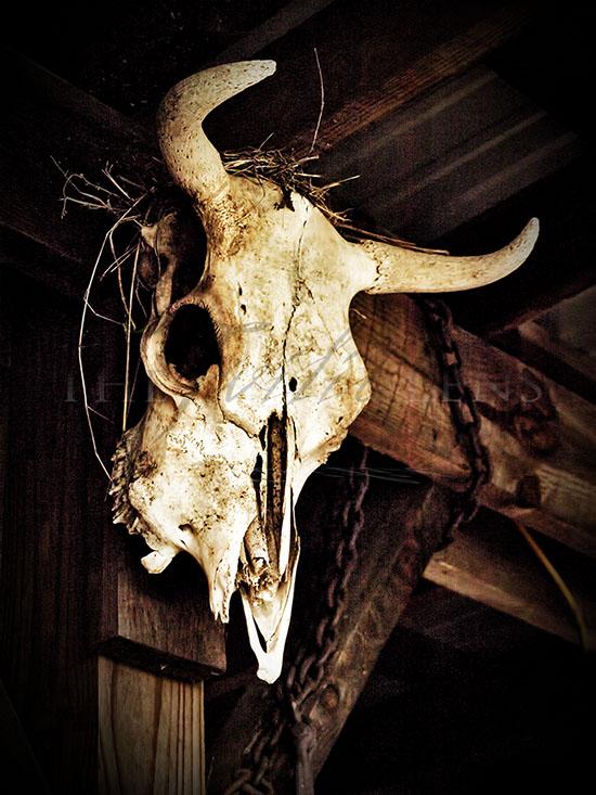 cow skull photograph