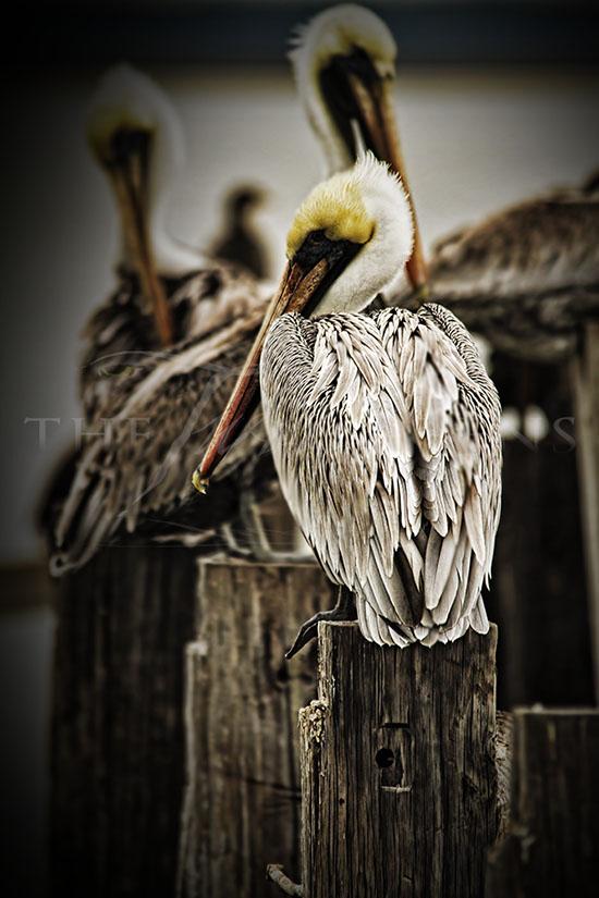 Council of Pelicans