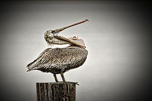Stretching Pelican